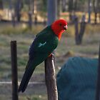"""Elvis"" The King Parrot by Mark Batten-O'Donohoe"