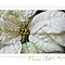 White Poinsettia Peace Love Hope Christmas Card by LouiseK