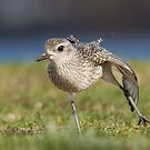 Black-bellied Plover Stretch by Bill McMullen