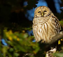Autumn Barred Owl by michelsoucy