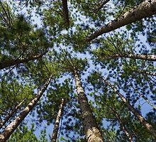Conifer Canopy by Kenneth Keifer