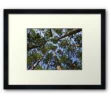 Conifer Canopy Framed Print