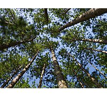 Conifer Canopy Photographic Print