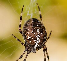 Araneus Diadematus - Garden Spider by Alan1297