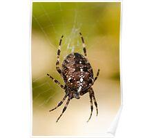 Araneus Diadematus - Garden Spider Poster