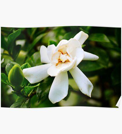 Yellow-White Flower (White gardenia) Poster