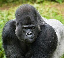 Western Lowland Gorilla, Silverback by fg-ottico