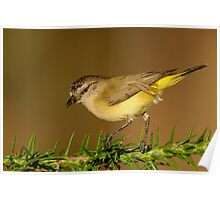 Yellow-rumped Thornbill  3# Poster
