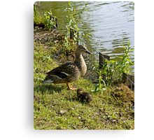 Mother Duck and Duckling Canvas Print