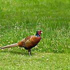 Common Pheasant male by Sue Robinson