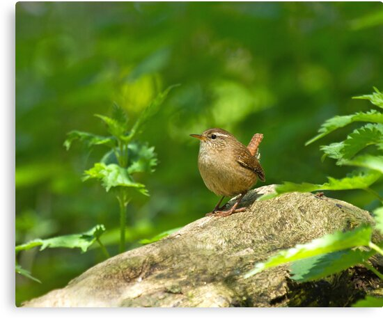 Winter Wren in Woodland by Sue Robinson