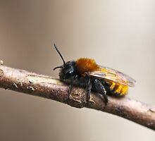 Tawny Mining Bee by Sue Robinson