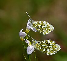 Orange-tip Butterflies Underwing by Sue Robinson