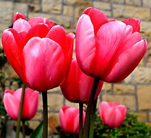 Pink Tulips at Larnach Castle by Bami