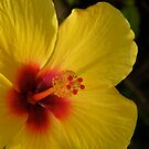 Yellow Hibiscus by Shaina Lunde