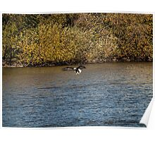 American Bald Eagle over the Fox River Poster