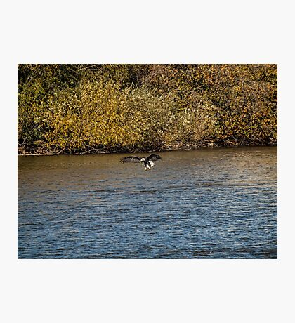 American Bald Eagle over the Fox River Photographic Print