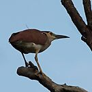 Rufous Night Heron by triciaoshea
