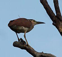 Rufous Night Heron by triciaoshea
