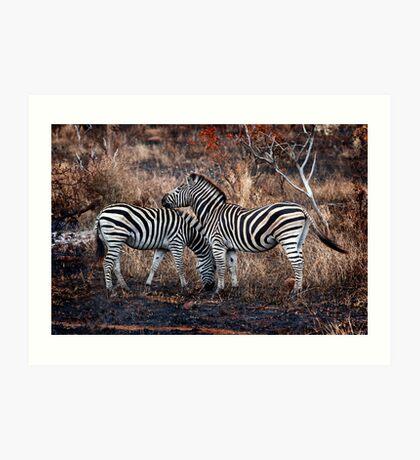 Burchells zebra pair. Art Print