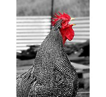 Cock-a-Doodle-Doo, Says Plymouth Rock Photographic Print
