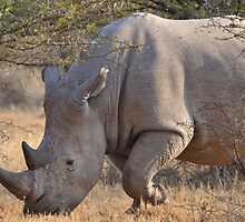 White Rhino by jeff97