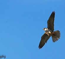 Hobby in action by Steve Shand