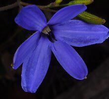wild blue Laxmanniaceae by peterbeaton