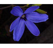 wild blue Laxmanniaceae Photographic Print