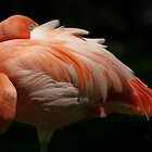 Resting flamingo by TC3 Photography