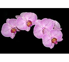 Orchid in Pink and White Photographic Print