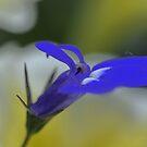 Iris by lumiwa