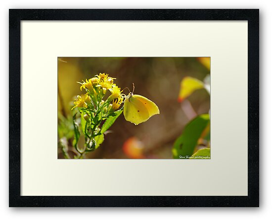 cleopatra butterfly by Steve Shand
