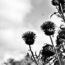 Dublin in Mono: Thistles by Denise Abé