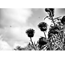 Dublin in Mono: Thistles Photographic Print