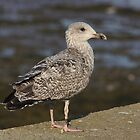 Young Seagull by AnnDixon