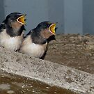 Baby Swallows by Caroline Anderson