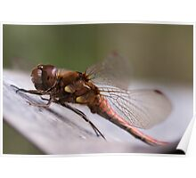 Bathing DragonFly Poster