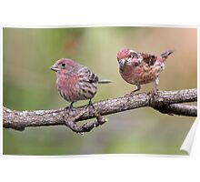 Purple Finch And House Finch Comparison Poster