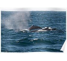 Three whales on the ocean surface, Australia  Poster