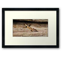 iberian wall lizard Framed Print