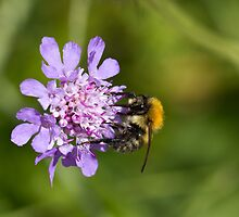 Bee on Scabious Flower by Sue Robinson