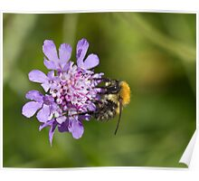 Bee on Scabious Flower Poster