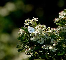 Holly Blue Butterfly in Dappled Sunlight by Sue Robinson