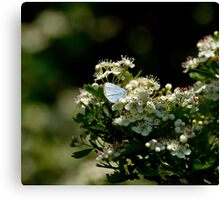 Holly Blue Butterfly in Dappled Sunlight Canvas Print