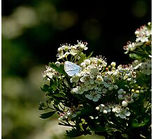 Holly Blue Butterfly in Dappled Sunlight Photographic Print