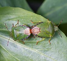 Common Green Shield Bugs mating by Sue Robinson