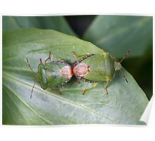Common Green Shield Bugs mating Poster