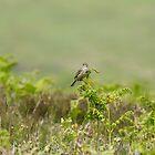Common Skylark on Bracken by Sue Robinson