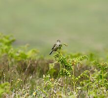 Common Skylark on Bracken by Sue Robinson